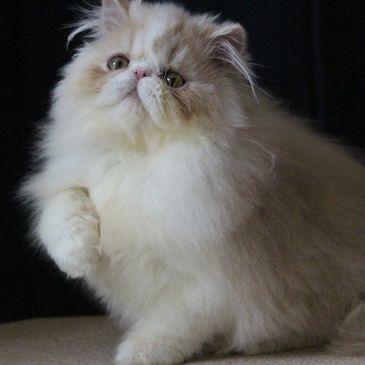 Cat Breeds Oakvillage Persians And Exotics