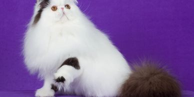 CFA Persian and Exotic Shorthair kittens for sale Colorado Texas California Arizona Utah New Mexico