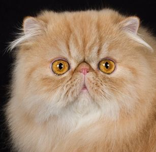 FA Persian and Exotic Shorthair kittens for sale Illinois  Indiana  Iowa  Kansas  Michigan  Minnesota  Missouri  Nebraska   North Dakota  Ohio  South Dakota  Wisconsin