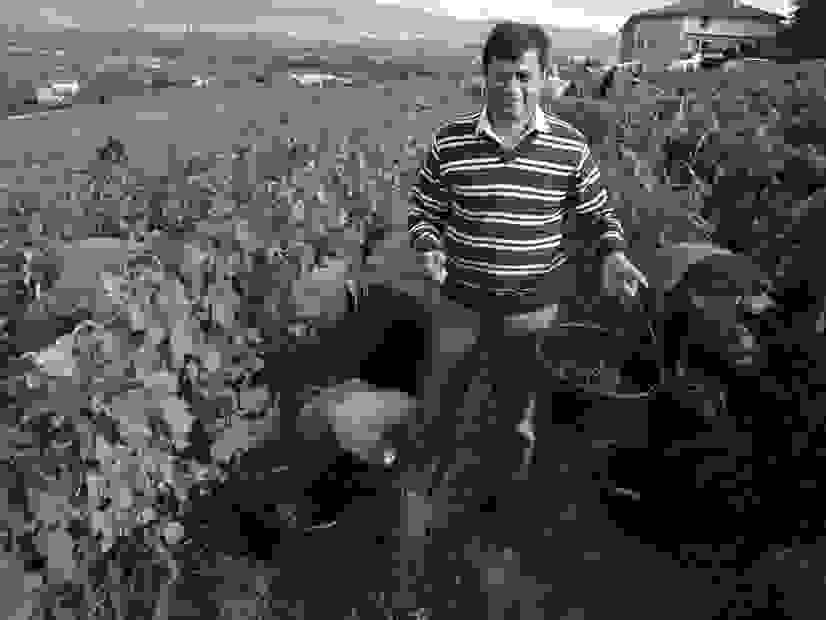 Colonel Joe harvesting grapes in Brouilly, Cru Beaujolais.