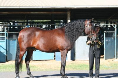 PRE Gelding - Southern Cross Calvaro owned by Cara Edwards