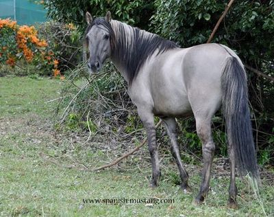 Grey Feather (Ikkitsi Peta x Prairie Feather) IMP USA owned by Willowvale Spanish Mustangs Australia