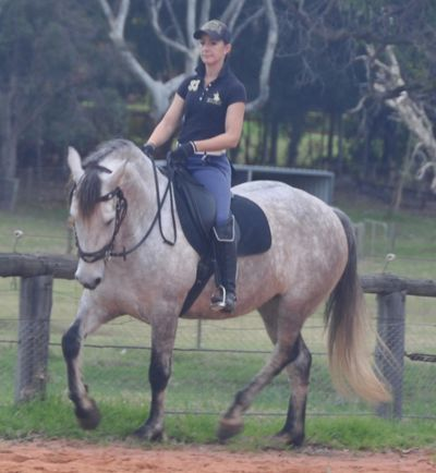 Main Studbook Warlander horse Australia - CS Invictus bred and owned by Classical Sporthorse Stud
