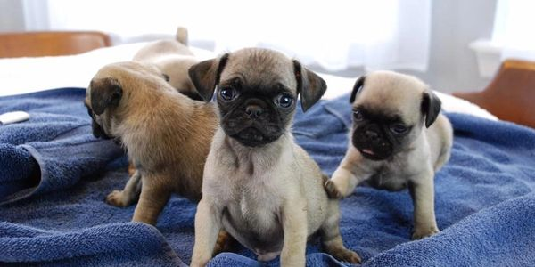 pugs for sale in Houston