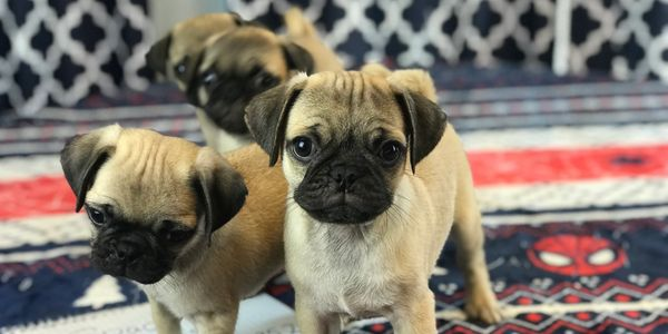 fawn pug puppies puppy