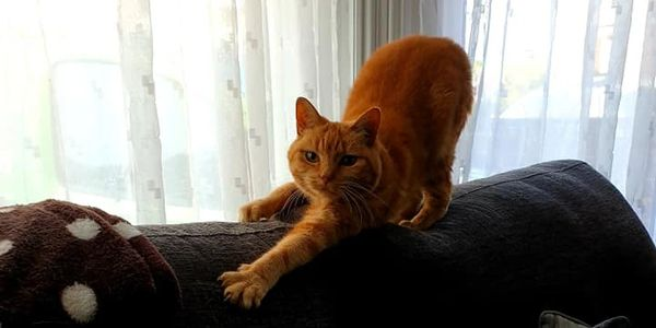 An orange cat playing on the couch.