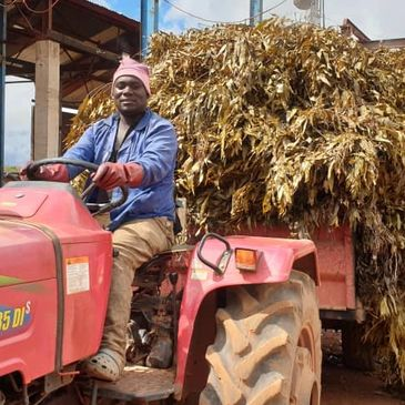 Malawian plantation worker driving tractor  with a trailer full of lemon eucalyptus leaves.