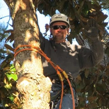 Bill Smallwood up in a tree with climbing safety gear on, trimming and pruning limbs for removal