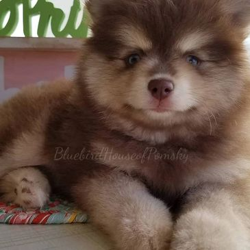 Chocolate pomsky sitting on a table