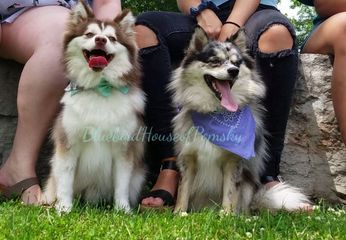 F1 Pomskies at the park