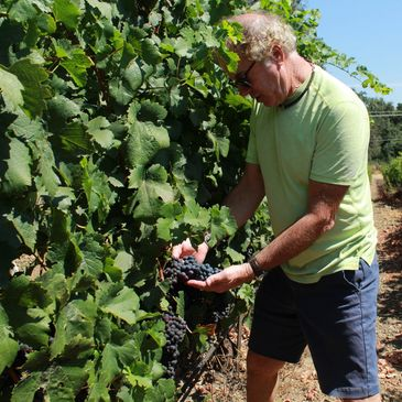 John Gilpin, owner and winemaker checking the ripeness of the Merlot grapes.