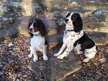 English Springer Spaniel Puppies for Sale - Francisco Creek