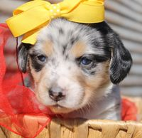 precious pups mo, llc puppies available for sale