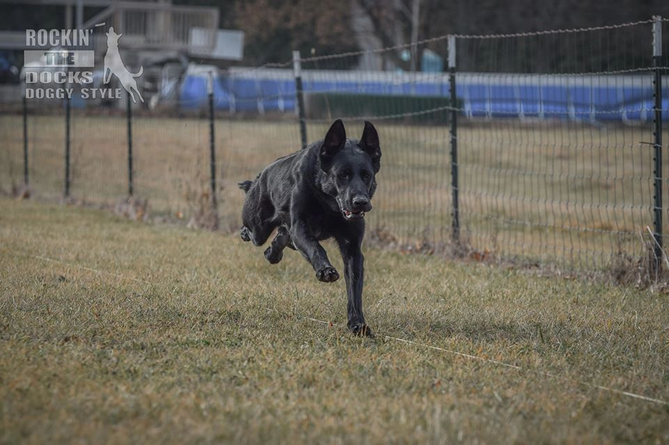 German Shepherd, running Fast Cat, Lure coursing, Dockdiving, The Gated Dock