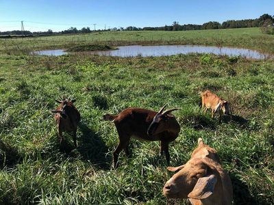 Pasture raised goats at Gobble-Berry Farmstead.