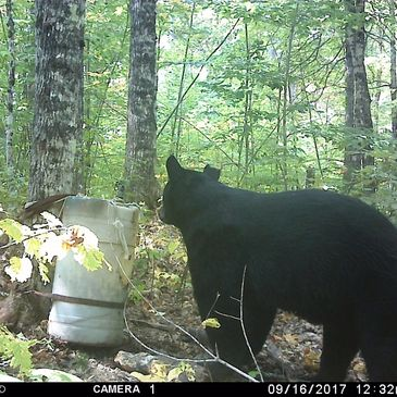 Maine bear hunt Bear bait guide