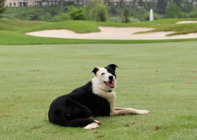 Goose dog at home on the golf course