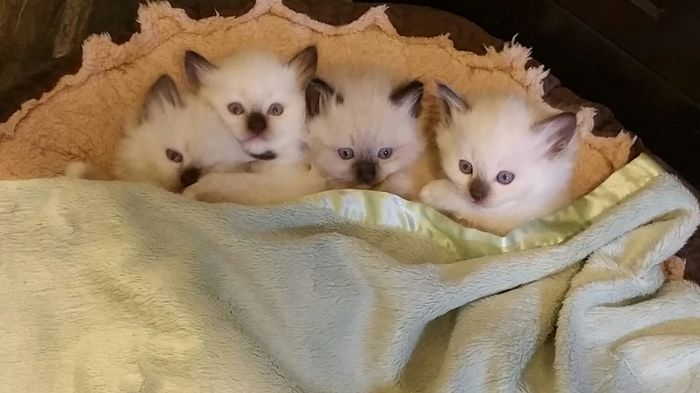SEAL POINT AND BLUE BICOLOR RAGDOLLS