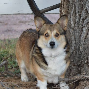 Male Pembroke Welsh Corgi owned by Smiling J Ranch.