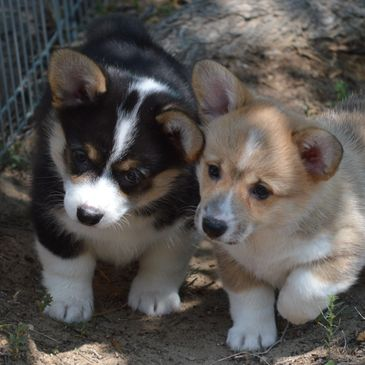 Corgi puppies bred by Smiling J Ranch