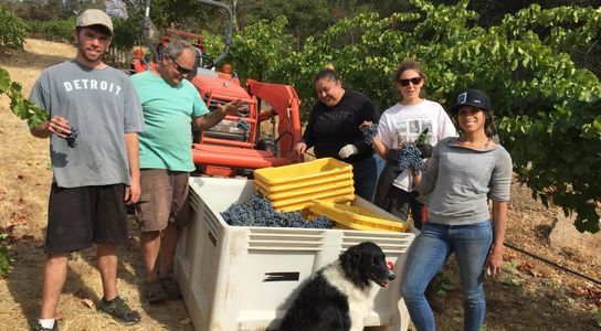 Friends harvesting grapes fro sale from Slate Creek Hills vineyard.