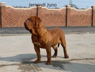 Jerivindi Juno Dogue de Bordeaux from Temple Felson