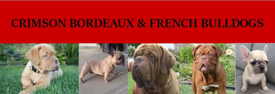 Crimson Bordeaux and French Bulldogs