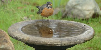 Robin (bird) on a birdbath