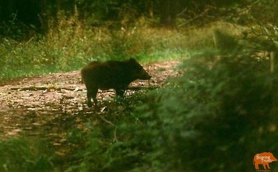 Original Wild Boar Spotted in the Forest of Dean in 2004