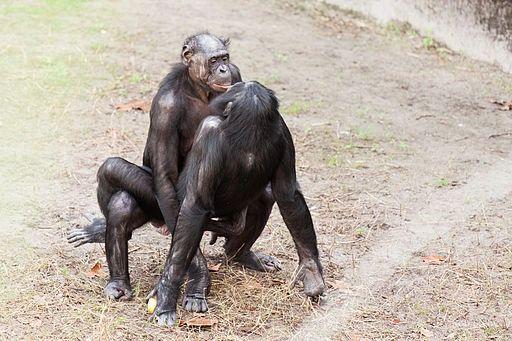 Bonobo missionary sex