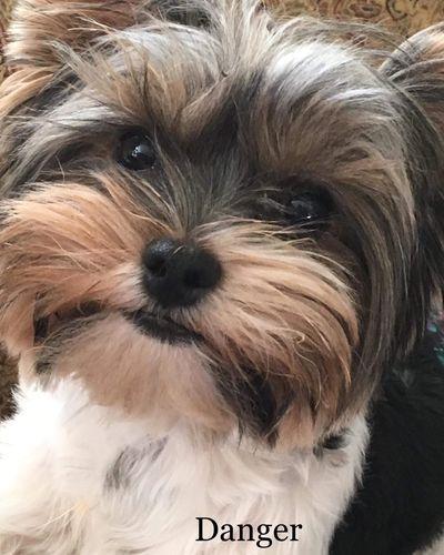 Yorkie Puppies - Chocolate Bark Kennel