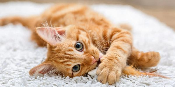 Orange cat laying on white carpet, playing with a feather, staring into the camera.