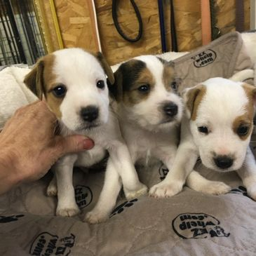 jack russell puppies on a bench