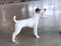 Jack Russell standing at terrier trial
