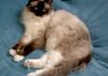 SEAL MITTED  (Mitted Pattern is White FEET)