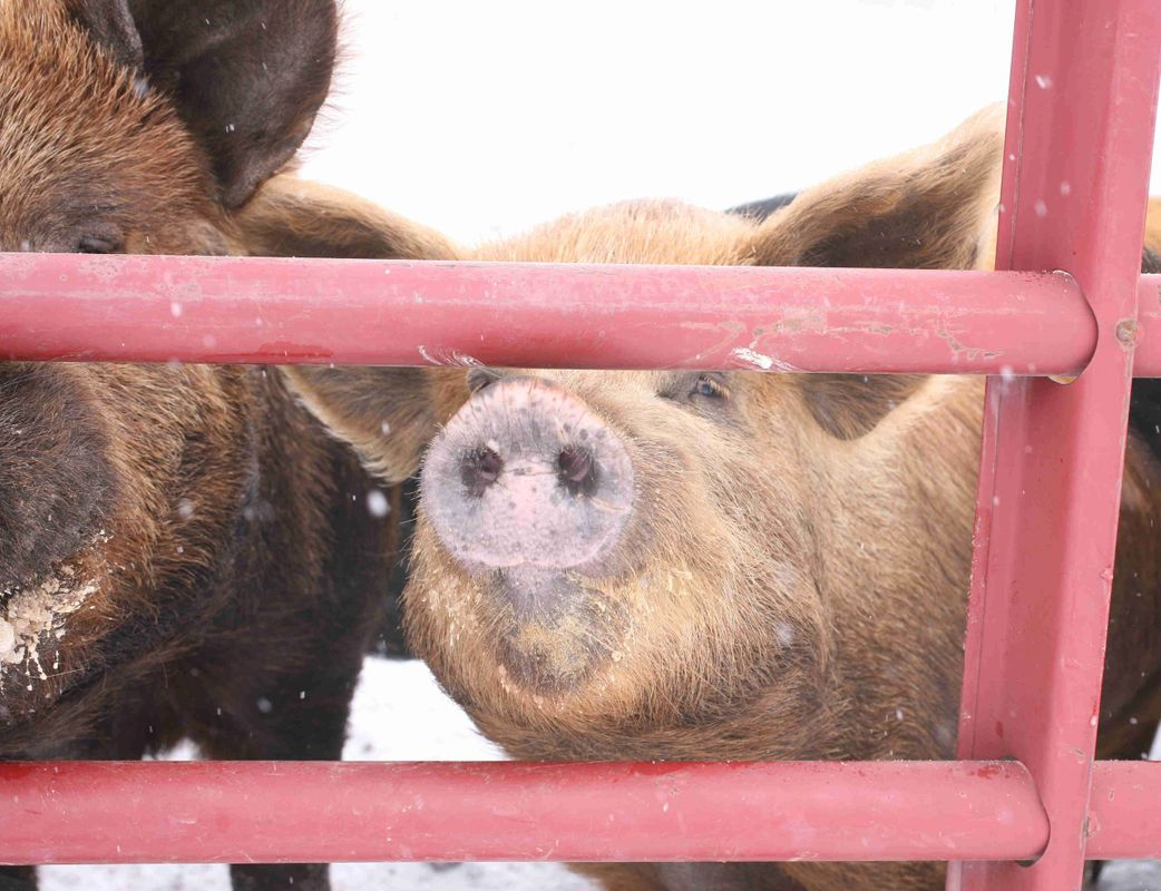 Our pigs are outside year round.