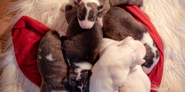 Four on the Floor is happy to announce the birth of the next generation of SoraBully's Bull Terriers