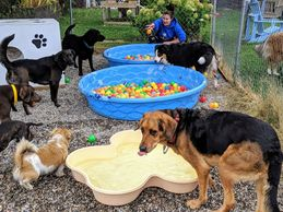 Dogs playing in the Doggy Ball Pits at Chris's Dog Hotel No Cages Luxury Pet Resort in Belleville