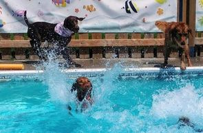 Dogs swimming in the pool in Belleville at Chris's Dog Hotel No Cages Luxury Pet Resort.