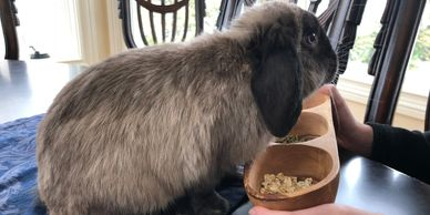 Siamese Sable Holland Lop bunny