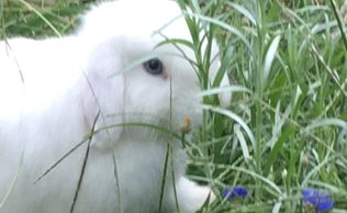Blue eyed white holland lop is aging Bachelor's Buttons
