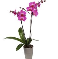 Easy Care: our Simple Shot glass makes caring for your orchid easy. Only requires watering once a we