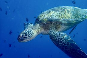 Green Sea Turtle Pic by Don Johnson Breezeway Bubbles SCUBA LLC