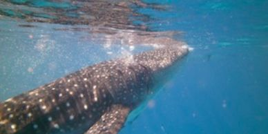 Whale shark from Philippines trip