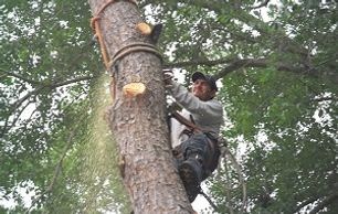 Delfino Sanchez using safety to cut pine limbs for Aldine tree services Houston stump grinding.