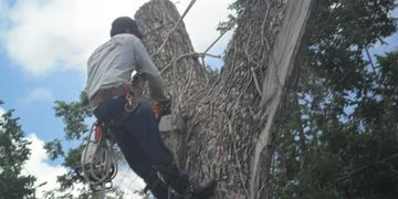 Man with safety harness preparing to cut section of a large tree with a chainsaw. Many green leaves