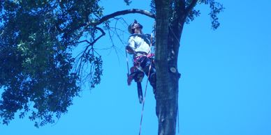 Delfino carrying chainsaw climbing arbor. Working for Aldine tree services Houston stump grinding.