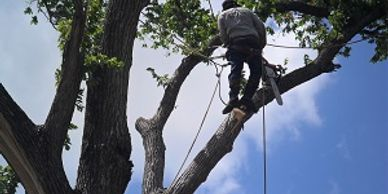 Delfino sanchez climbing leafy arbor blue sky working aldine tree services houston stump grinding