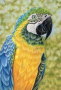 Blue Macaw painting, parrot art, wildlife, colored pencil art