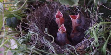 Baby Black-Throated Sparrows born in a planter at the Hideaway.